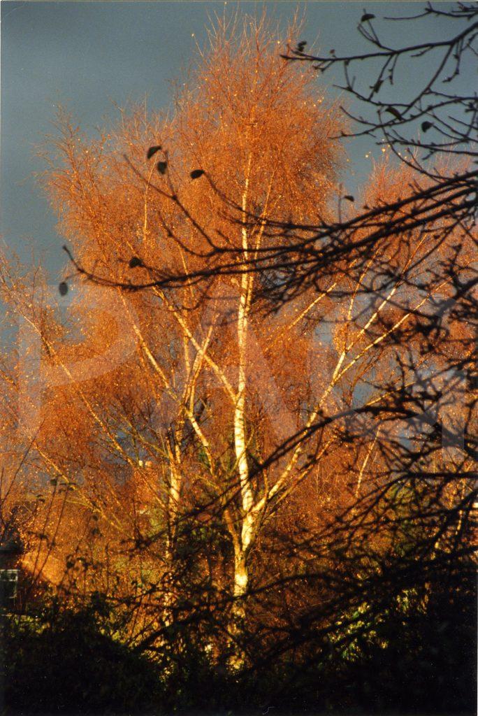 Birch - autumn
