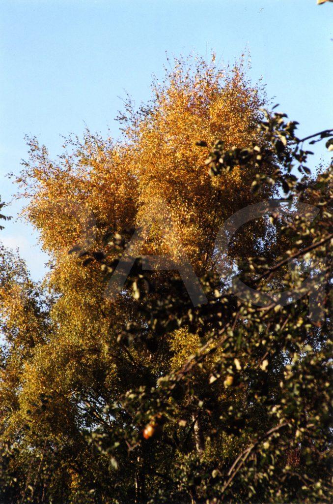 Birch - early autumn