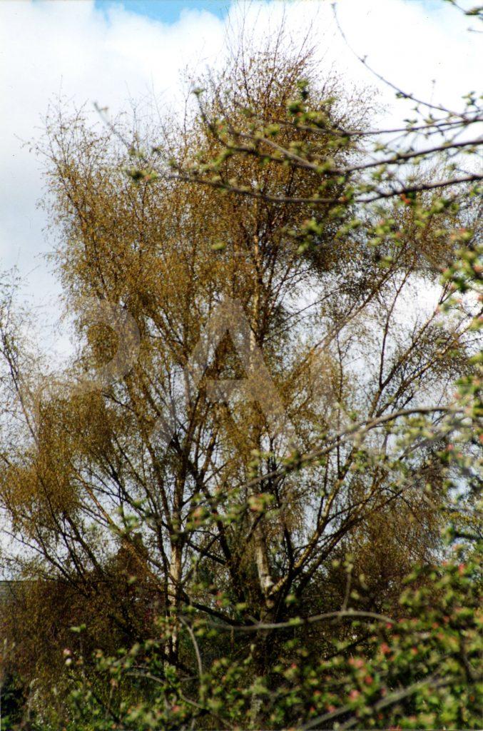 Birch, spring